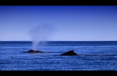 marc-russo-pair-of-whales-heading-south-rottnest-island